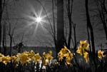 Daffodils In The Field - 0883 - Photograph by H. David Stein