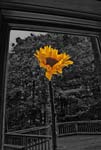 Flowers In The Window - Sunflower - 9772 - Photograph by H. David Stein