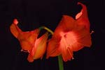 Amaryllis In a Different Light - 6343 - Photograph by H. David Stein