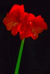 Amaryllis In a Different Light - 6496 - Photograph by H. David Stein