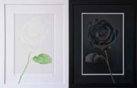 White On White - Black On Black - Rose - 2 Mirror Image Photographs by H. David Stein