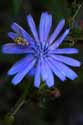 Chicory And Bee - 3286-20070919