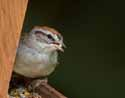 Chipping Sparrow - Becket, MA - 1938-20070808