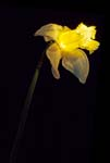 Daffodil In a Different Light - 6118 - Photograph by H. David Stein