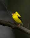 Goldfinch - Becket - 1411-20070806
