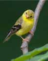 Goldfinch - Becket - 1758-20070807