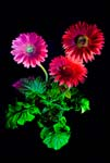Gerbera Daisy In a Different Light - Photograph by H. David Stein