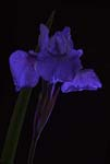 Iris In a Different Light - 6855 - Photograph by H. David Stein
