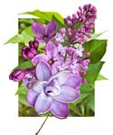 "Lilac - Deconstructed - 20"" x 24"" - Photographic Montage by H. David Stein"