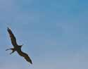 Magnificent Frigatebird - 8642-20070420