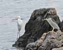 Great Egret and Black-Crowned Night-Heron - Manor Park Shore - Larchmont, NY