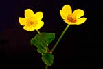Marsh Marigold In a Different Light - 6062 - Photograph by H. David Stein