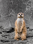 Meerkat in the Cleveland Metroparks Zoo- Photograph by H. David Stein