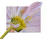 "Pink Chrysanthemum - Deconstructed - 24"" x 20"" - Photographic Montage by H. David Stein"