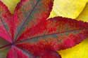 Red leaf on Yellow Leaves - 76-28S