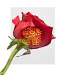 "Red Rose - Deconstructed - 20"" x 24"" - Photographic Montage by H. David Stein"