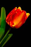 Red-Orange Tulip in a Different Light - 5828 - Photograph by H. David Stein