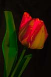 Red-Orange Tulip In a Different Light - 5892 - Photograph by H. David Stein