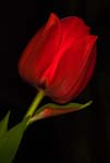 Red Tulip In a Different Light - 5494 - Photograph by H. David Stein