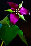 Trillium In a Different Light - 6011 -  - Photograph by H. David Stein